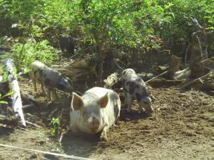 La ferme des 3 petits cochons sera présente à la foire d'Aubusson, les 9-10-et11 Septembre.