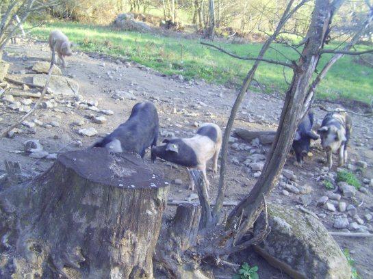 le cochon des bois creusois, est le fruit d'un mélange de races rustiques, sa nature veut qu'il vive dehors!